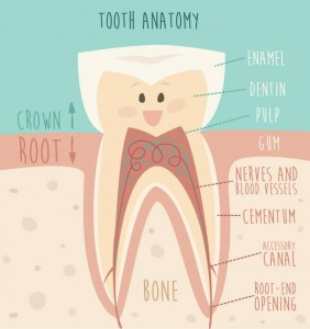 tooth-anatomy-762x812