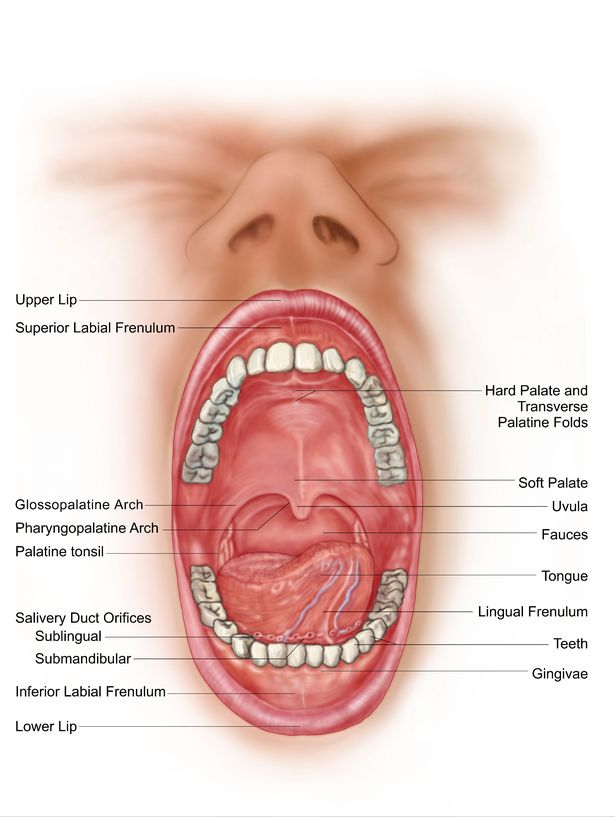 Anatomy of your mouth and dental structure - Dr Chauvin